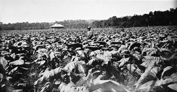 Tobacco farming at Wessyngton Plantation, date unknown